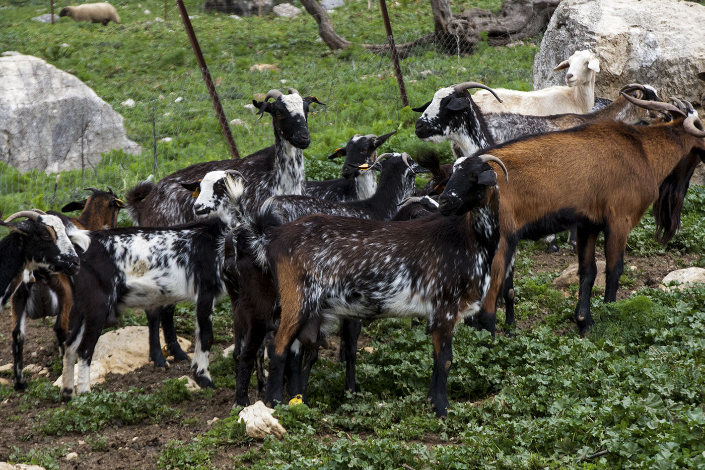 Quesos Sierra Crestellina (Casares)